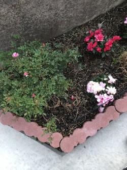 姫バラが咲いています!